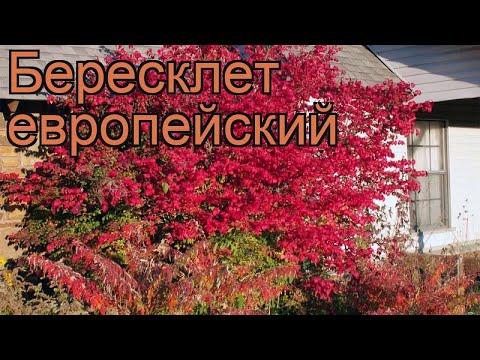 Бересклет европейский (euonymus europaeus) 🌿 бересклет обзор: как сажать саженцы бересклета