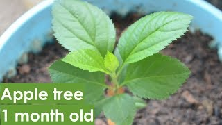 How to grow apple tree from seeds-1month old