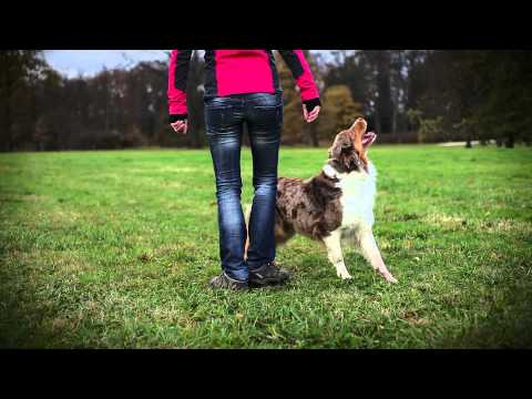 Australian shepherd Brandy - dog tricks video