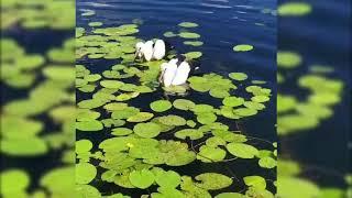 В Браславском районе аисты приводнились в центре озера Рака и поплыли к берегу