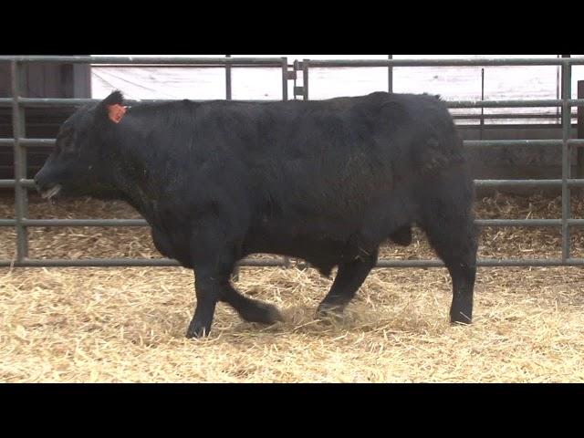 Schiefelbein Angus Farms Lot 317