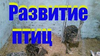 Страусы у Сельхозпеределкина, контрольный вес, рацион и зимовка /  ostriches development(ну вот наконец таки вышло снять ролик о страусах, извиняюсь что не было возможности сделать это раньше но..., 2016-10-09T16:52:40.000Z)