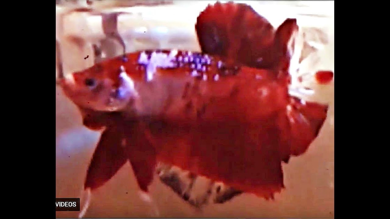 Giant koi betta fish youtube for Giant koi fish