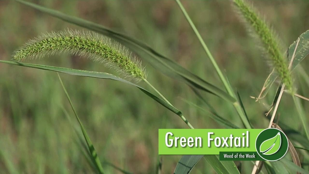 Weed Of The Week 1008 Green Foxtail Youtube