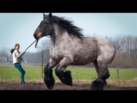 Die Größten Pferderassen der Welt!