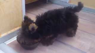 Yorkshire Terrier Puppy Eating Lunch