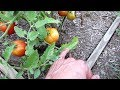 15 Tomato Tips for a Successful Tomato Garden: From Container Mix to Epsom Salt & A Bonus Tip