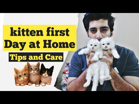 Kitten Care First day at home | How to care for your new kitten | new Persian kitten care