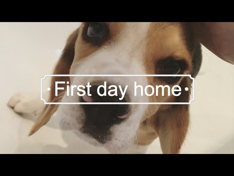Beagle Puppy - Abby's First day home