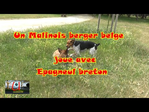 un-malinois-joue-avec-un-epagneul-breton