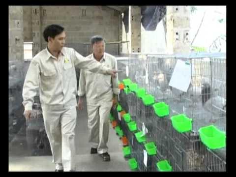 Chim Bồ câu Pháp - Hợp Tác xã Nông trang Quảng La