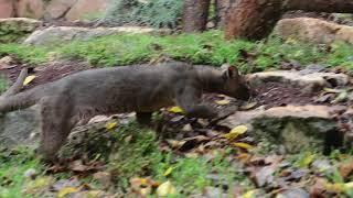 פוסות ממדגסקר בגן החיות בחיפה