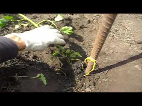 Оригинальный способ посадки помидор ДеБарао. Старый