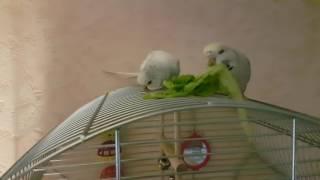Волнистые попугаи Чехи(2)