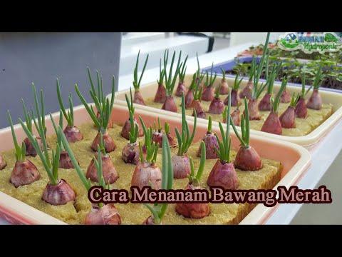 Cara Menanam Bawang Merah Dengan Hidroponik