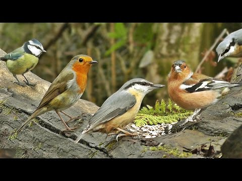 Videos for Cats to Watch - Forest Birds Chirping and Singing