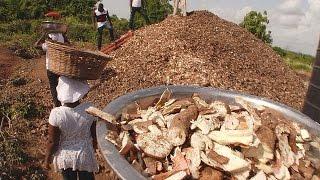 Ghana : comment valoriser les déchets issus de la transformation du manioc ? - futuris