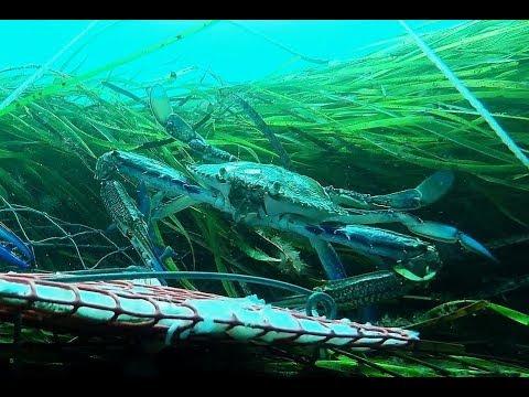 Blue Swimmer GoPro Crabbing  - Adelaide Metro, South Australia