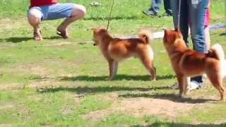 ПЛАНЕТА СИБА ИНУ выставка собак