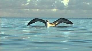 """Learning to Fly"" Frans Lanting and the Young Albatrosses of Midway"