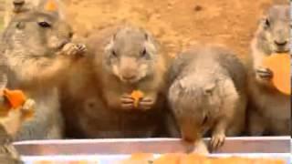 Pieski preriowe wcinają marchewkę