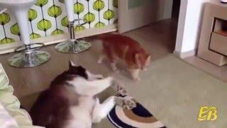 Хаски и кошки. Подборка приколов. Huskies and cats.