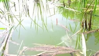 ЭТА РЫБАЛКА НЕЗАБЫВАЕМА!!! Ловля карася на поплавочную удочку крупным планом. Лето 2018