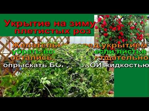 ВЫРАЩИВАЕМ РОЗЫ В СИБИРИ Сибирская Мини Дачка