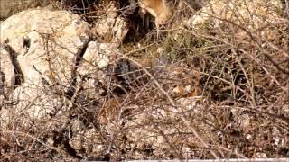 Cabras Montesas en el Torcal de Antequera