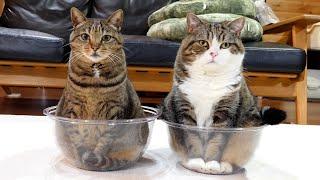 透明ボウルとねこ×2。-Transparent bowl and Maru&Hana.-
