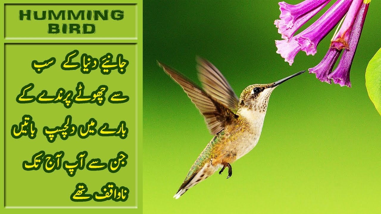 Worlds Smallest Bird Documentary | Humming Bird Urdu Hindi | Info Urdu  Channel