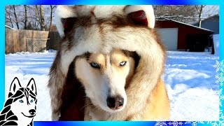 HUSKIES PLAY IN SNOW ❄ |  Day 5 of 12 Days of Giveaways 2016 🎄 with Spirithoods
