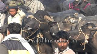 Largest Buffalo market in north India - come and sell your buffaloes in Muzaffarnagar, folks!