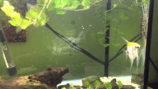 Angelfish breeding 3 batches at the time, none stop spawning !!