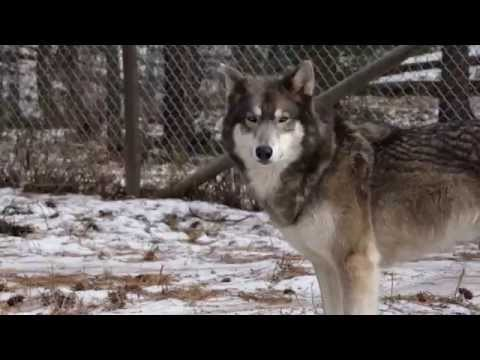 W O L F  Sanctuary – Wolves Offered Life & Friendship