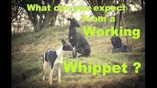 What to expect from a working whippet
