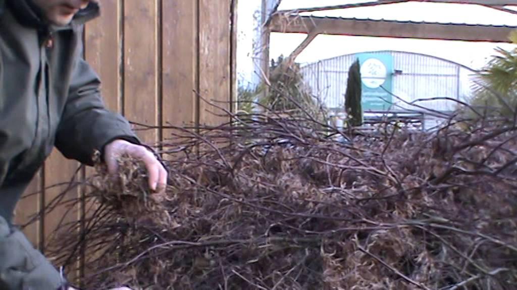 Taille d 39 claircissage sur erable du japon en hiver 1er - Comment tailler un erable ...