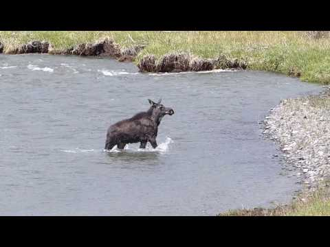 Moose Yearling in Yellowstone - The Time Nears