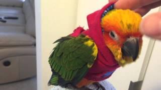 Sun Conure puts on hoodie
