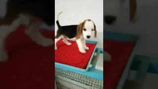 Shanu dog store available top quality beagle male and female puppies in jalandhar 9530932338