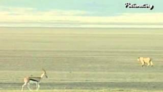 なぜガゼルはライオンのいる方向へ歩いて行くのか? そのガゼルをじっと...