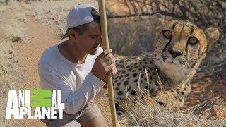 ¡Un guepardo en su hábitat natural! | Wild Frank en África | Animal Planet