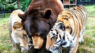 Bär, Löwe und Tiger – Eine unglaubliche Tierfreundschaft endet nach 15 Jahren!