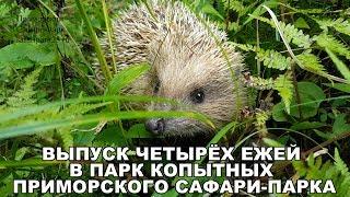Выпуск четырёх ежей в Парк копытных Приморского Сафари-парка