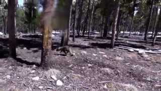 This is a video of Kai Ken (甲斐犬) puppies Nazo and Kiko playing i...