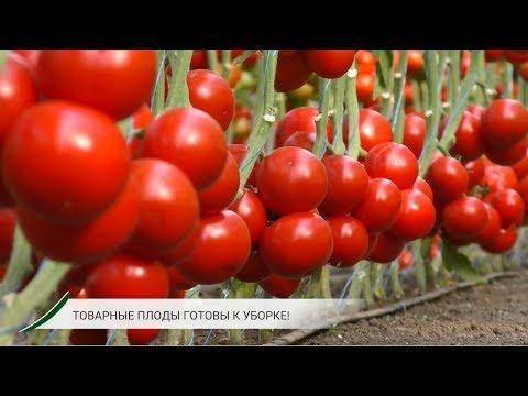 Урожайный красный томат