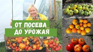 Помидоры в моей теплице от посева до урожая Сроки посева удобрения полив уход