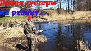 Ловля густеры на поплавок весной. Рыбалка на реке. Бешеный клёв.