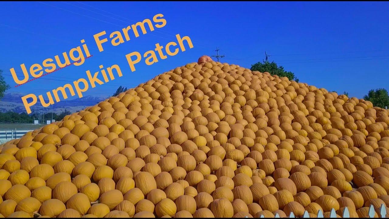 Uesugi Farms Pumpkin Patch  YouTube