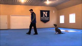 Jade (pitbull Terrier) Dog Training Boot Camp Video